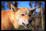 Dingo III by TVD-Photography