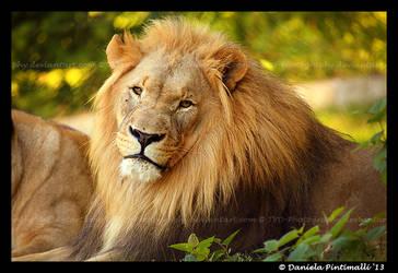 Lion Gaze by TVD-Photography
