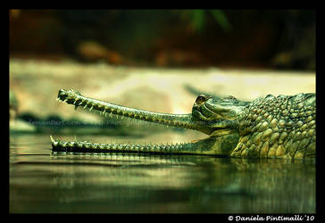 Gharial by TVD-Photography