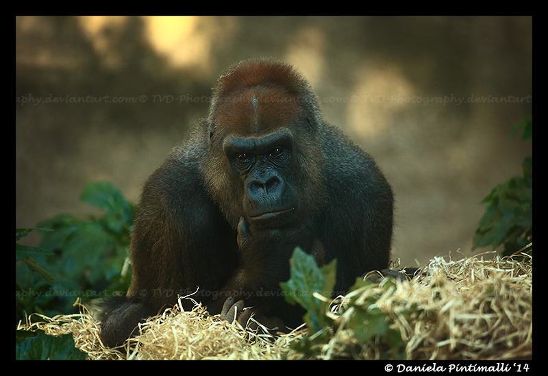 Gorilla Portrait IV by TVD-Photography