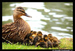 Duck family by TVD-Photography