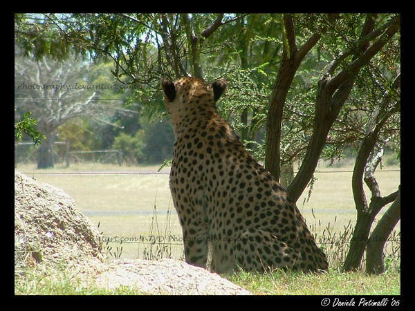 Cheetah: Into the distance by TVD-Photography