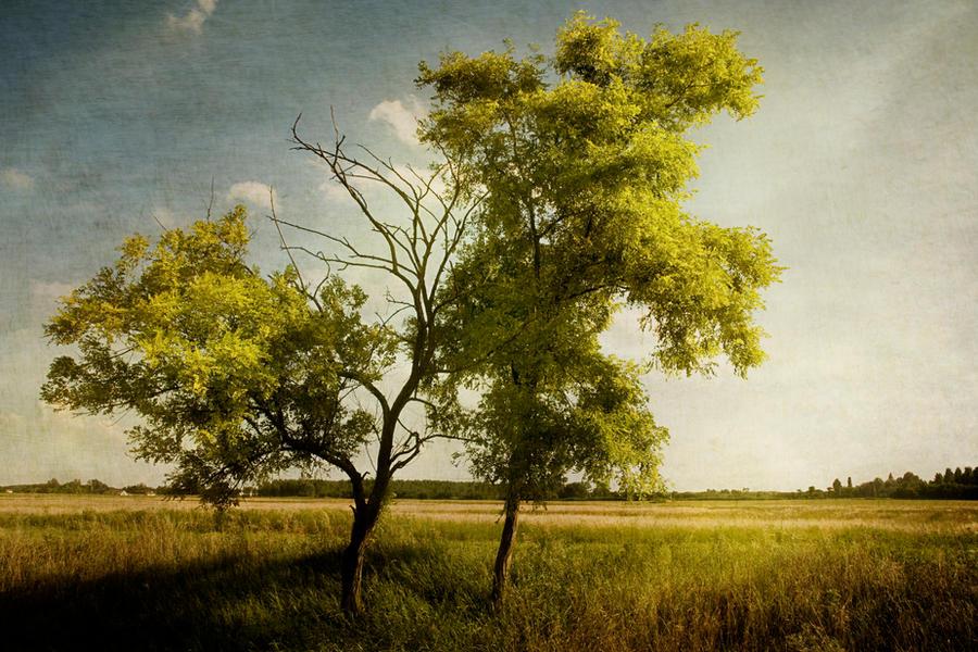 Acacia by Louisolah