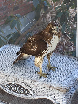 Hawk Encounter