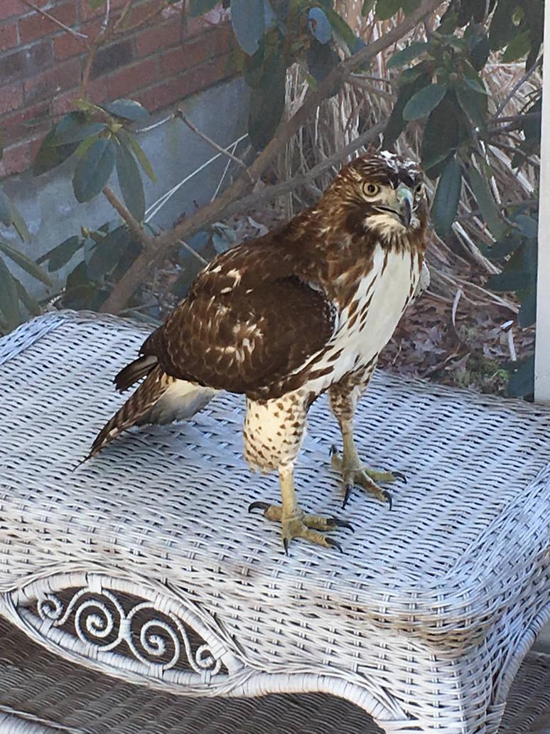 Hawk Encounter  by TheMightyQuinn