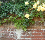 Roses on a wall.