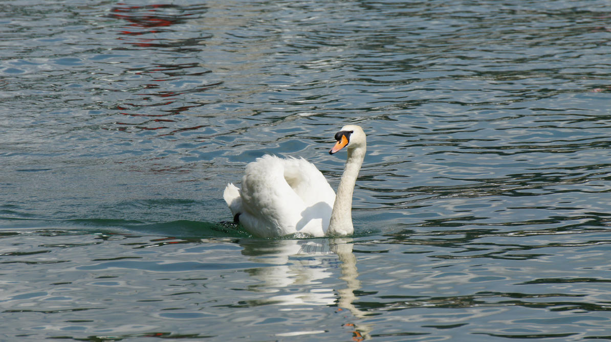 Swan (in) lake by 7ain