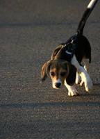 beagle. by Remiaru