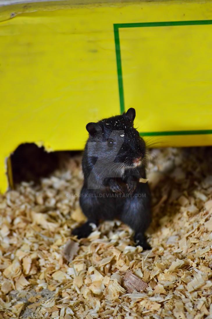 Timid Little Black Gerbil by Tori-Kell