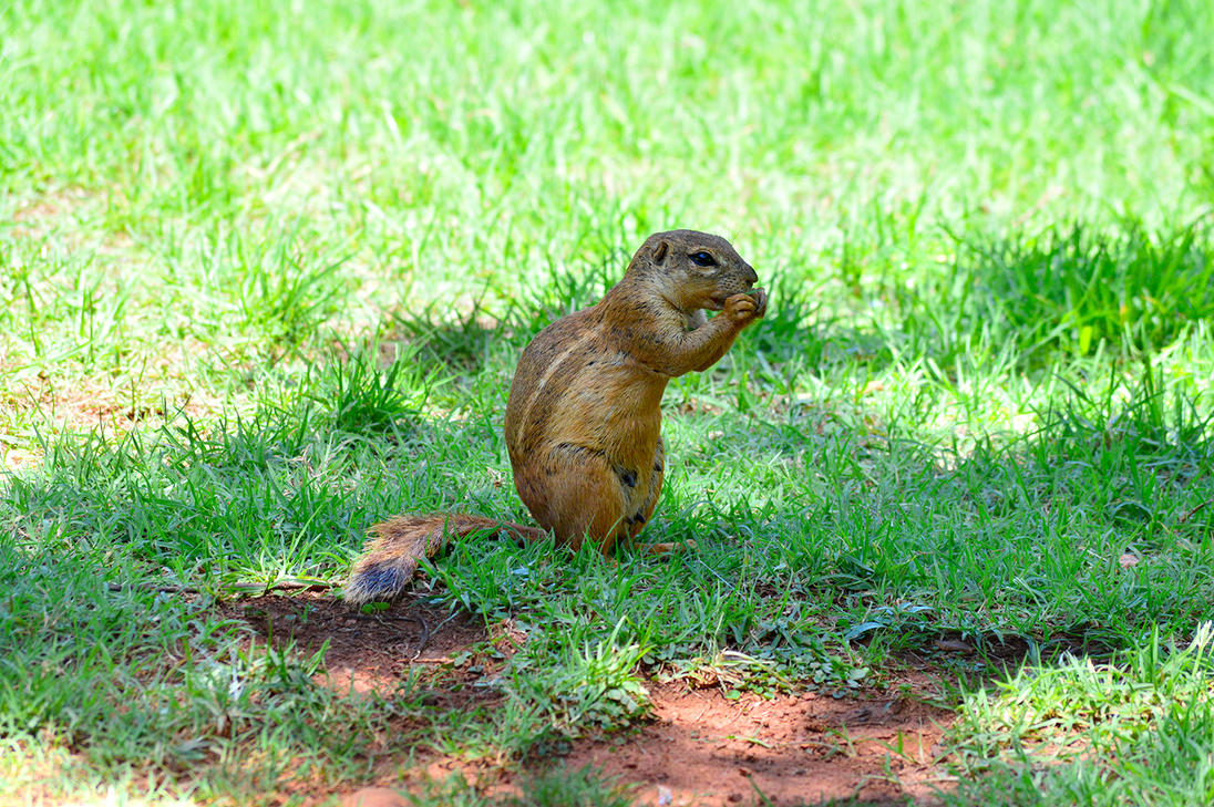 Cute little Cape ground squirrel by Tori-Kell