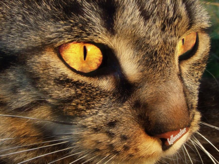 fire cat wallpaper