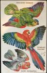 Vintage Postcard - Parrots