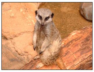 Meerkat by darknepenthe