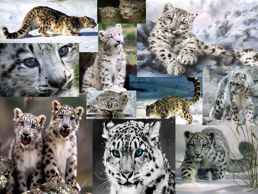 Snow Leopard Wallpaper Collage By WhiteWolf0604