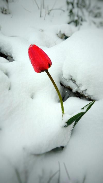Tulip by lNSartl