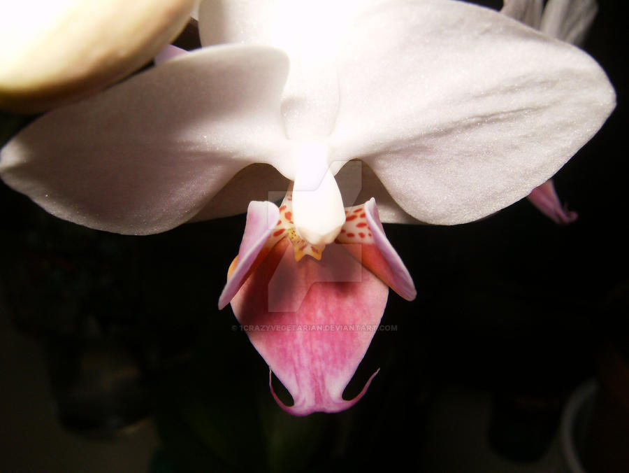 Orchid 2 by 1CrazyVegetarian