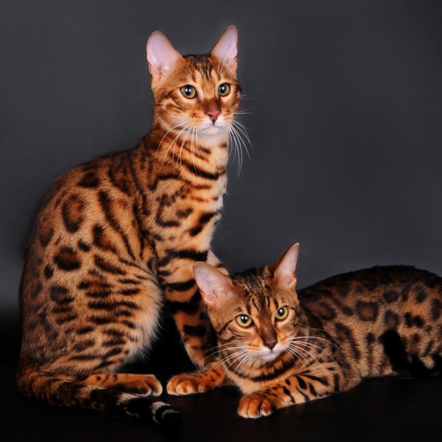 кошки леопардовый окрас фото