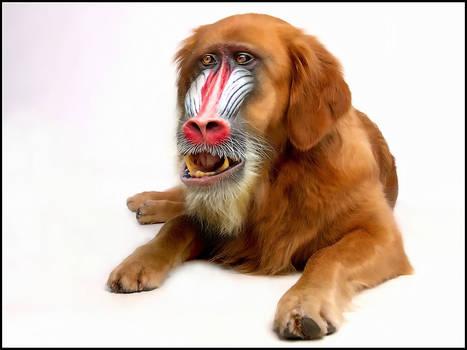 Golden-Retriever-Monkey..