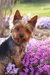Yorkie In Spring