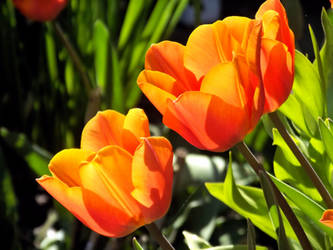 tulips in spring 3 by PascalWe