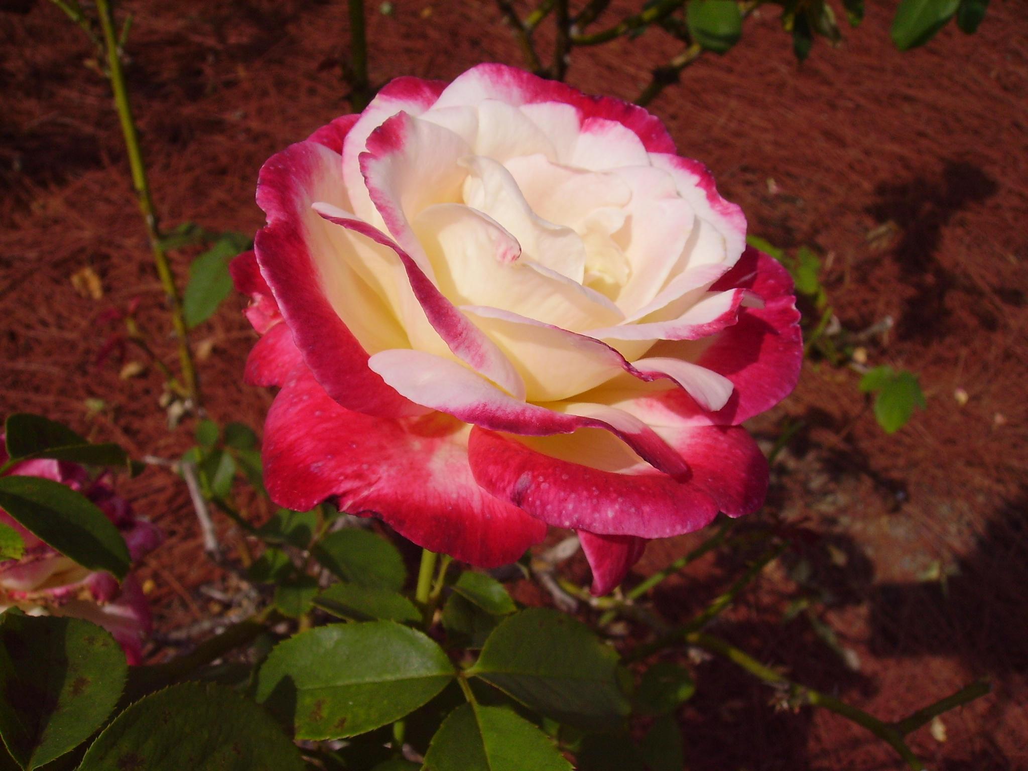 rose 1 by makai-no-Karasu