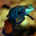 Mandarinfish 2444 by Sooper-Deviant