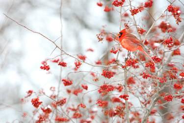 Northern Cardinal 9015P by Sooper-Deviant