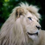 White Lion 1035P