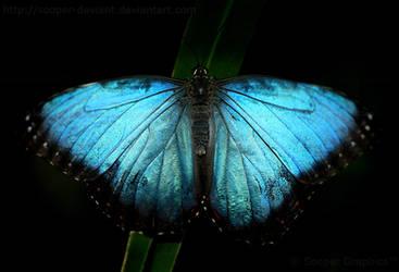 Blue Morpho 3422P by Sooper-Deviant
