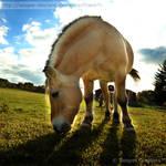 Norwegian Fjord Horse 0619 by Sooper-Deviant