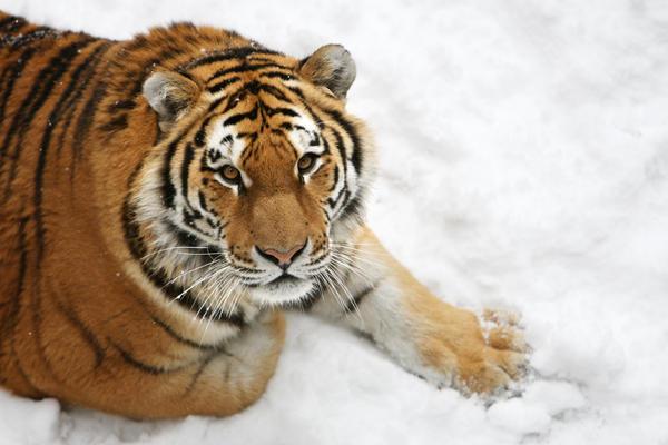 Amur Tiger 5177P by Sooper-Deviant