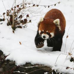 Red Panda 2902P by Sooper-Deviant