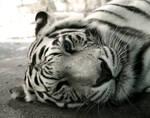 White Bengal 7561P