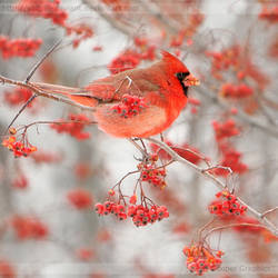 Winter Berries 9854 by Sooper-Deviant