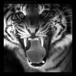 Sumatran Roar 4098