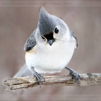 Curious Titmouse 6941P by Sooper-Deviant