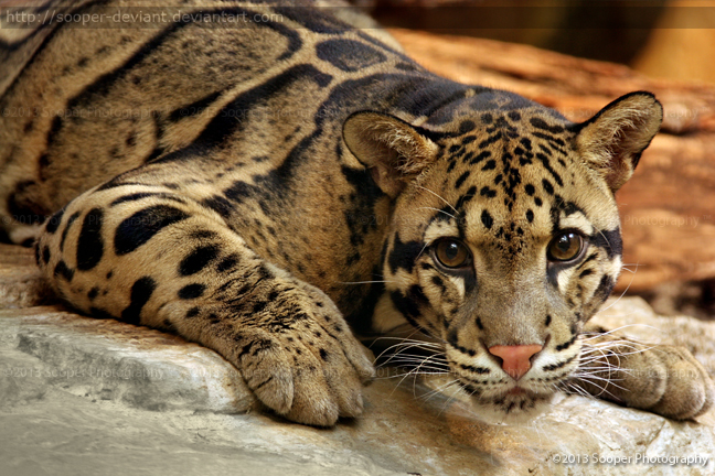 Clouded Leopard 6801P by Sooper-Deviant