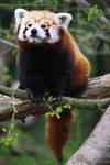 Red Panda 3912P by Sooper-Deviant