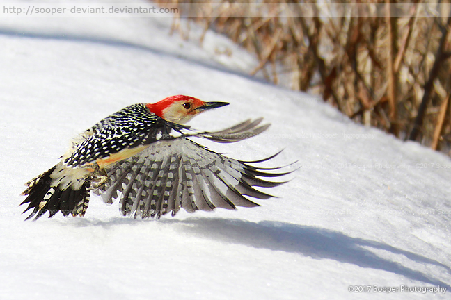 Red-bellied Woodpecker 3781 by Sooper-Deviant