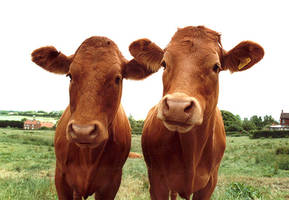 Cows by quarterwit
