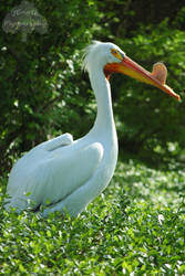 Pelican on Green by JEnglePhotography
