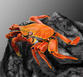 crab colour study by rafenrazer
