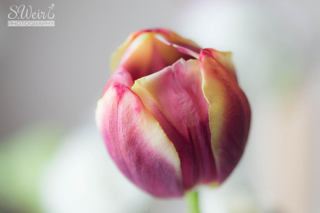 Tulip by sweir17