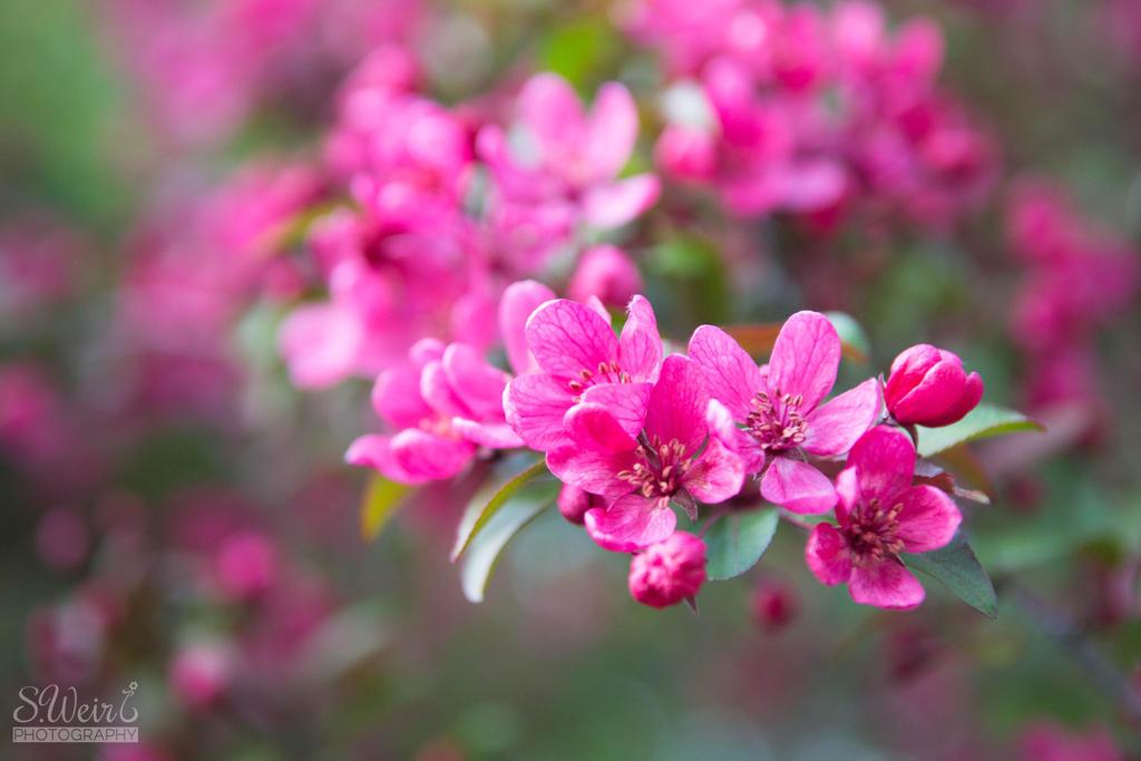Blossom-2 by sweir17