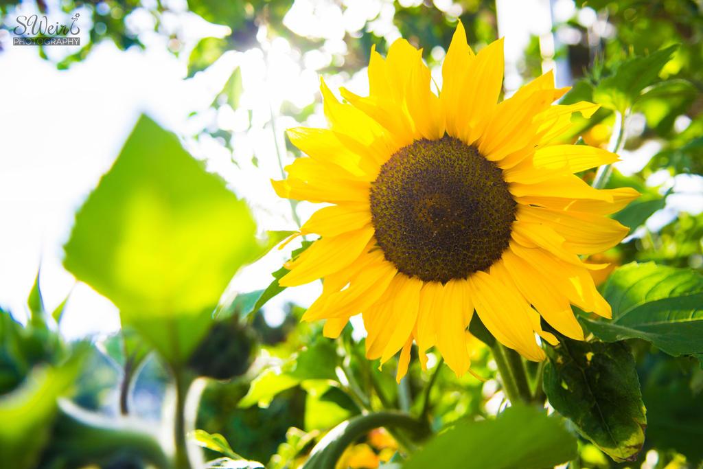 Sunflower by sweir17