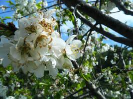 Cherrie Blossom by AnnaIdhunita