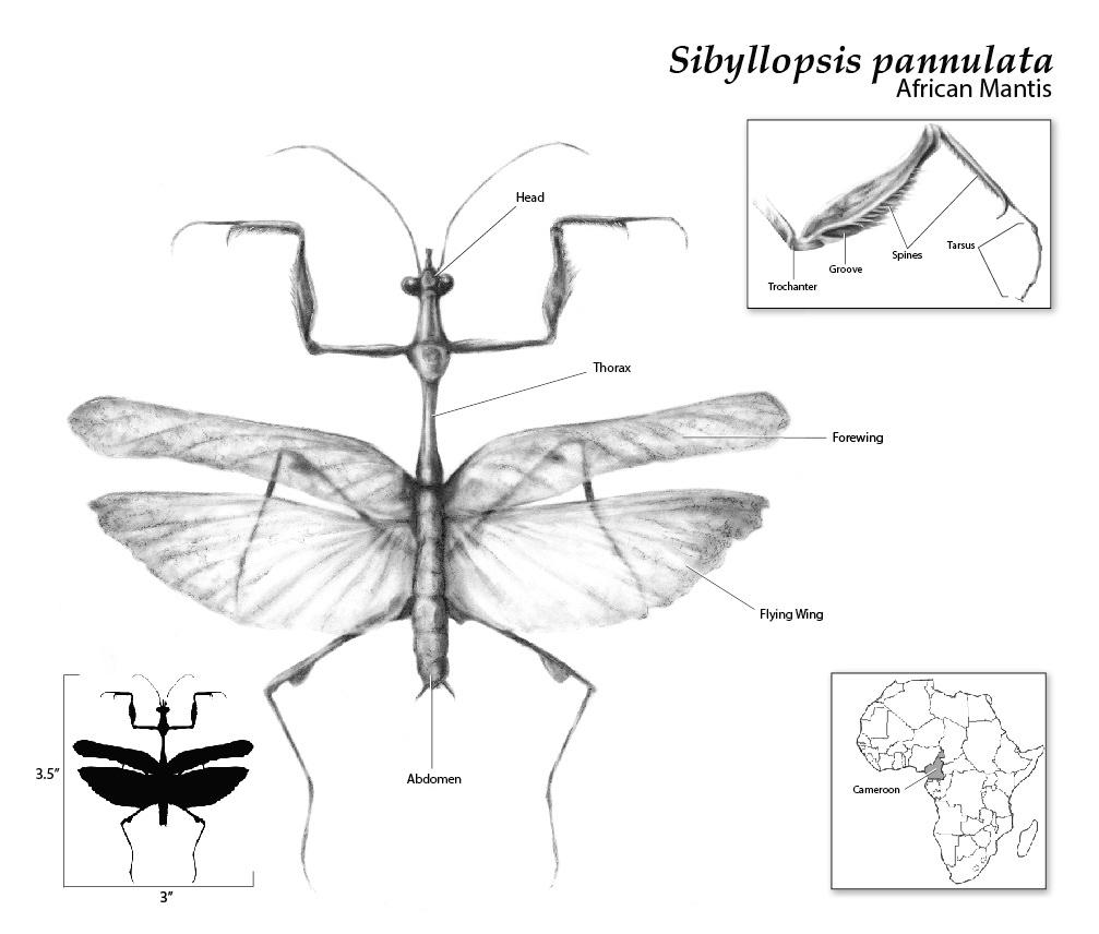 Mantis Anatomy Diagram - All Kind Of Wiring Diagrams •
