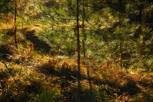 Pine's underbush