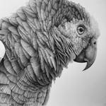 Yellow Shouldered Amazon Parrot (head only)