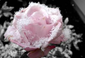 Rose by musicismylife2010